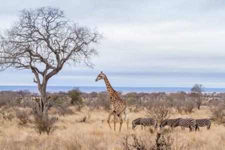 Girafe et zèbres dans la savane africaine