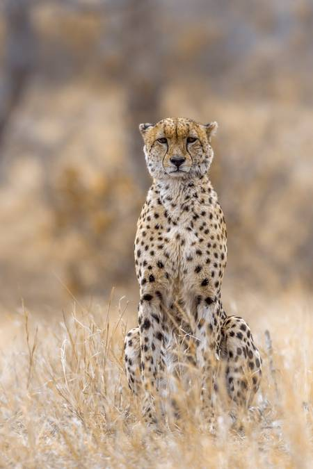 Cheetah great lord of Africa