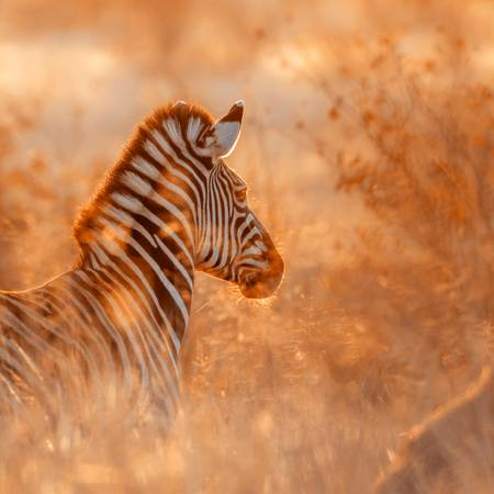 Young zebra in the early morning