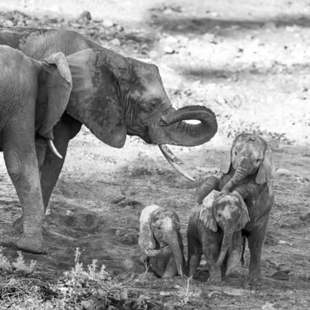 Jóvenes elefantes jugando frente a la mirada de su madre