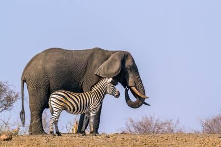 Le zèbre et l'éléphant sur fond bleu