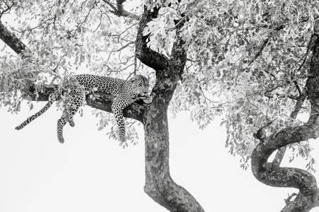 Leopard couché dans un arbre