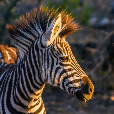 Portrait of an adorable young zebra