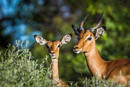 Portrait of an impala couple in Africa