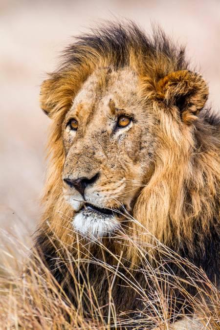 Portrait d'un lion mâle d'Afrique