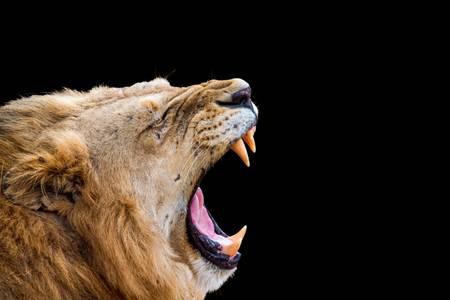 Portrait d'un lion rugissant sur fond noir
