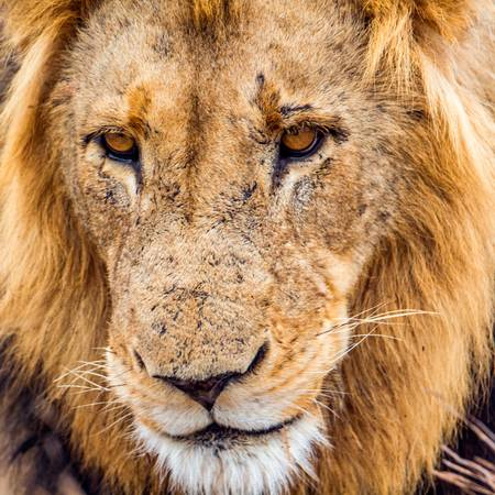 Portrait of lion in close-up