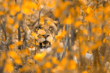 Lioness portrait in autumn leaves