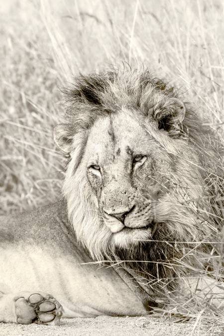 Majestic portrait of the king of the savannah
