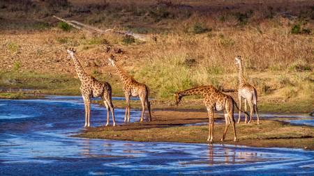 Quatre girafes au bord de la rivière