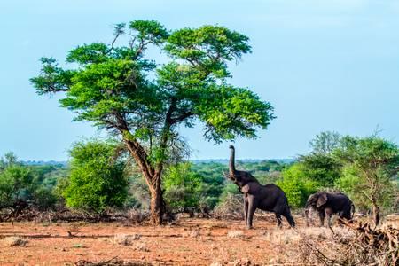 Repas d'éléphant d'Afrique