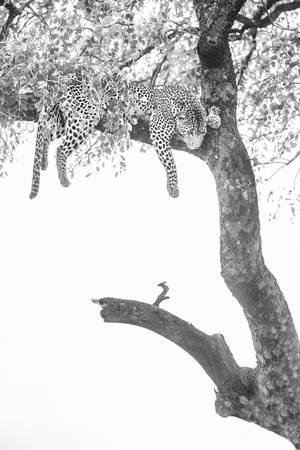 Repos du léopard dans son arbre