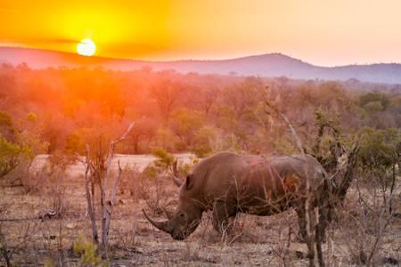 Rhinoceros blanc d'Afrique au couché du soleil