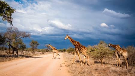 Scène d'orage avec des girafes
