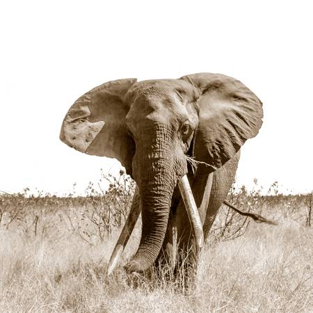 Tusker elephant from Africa