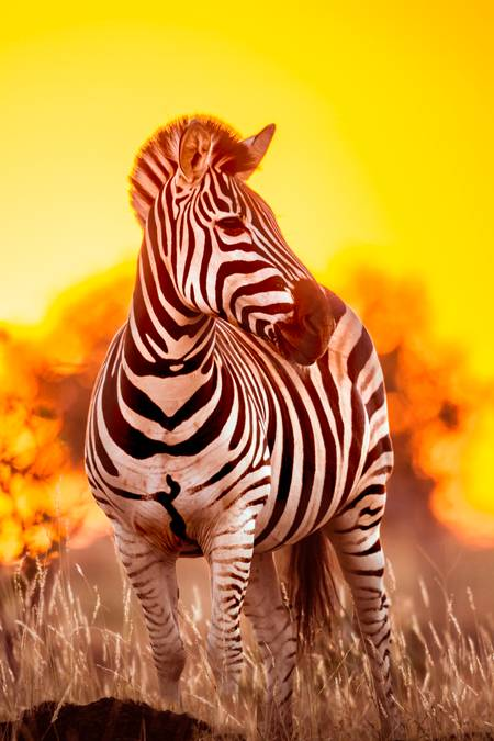 Burchell's Zebra at sunrise