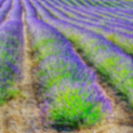 lavendel lijnen