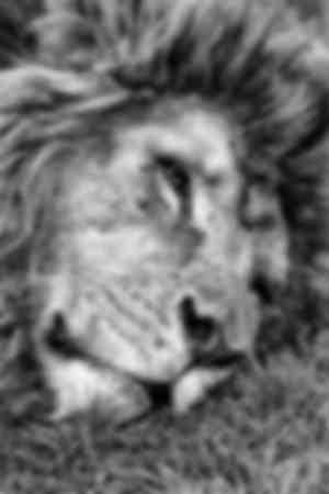 Vieux lion