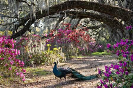 Peacock Stroll