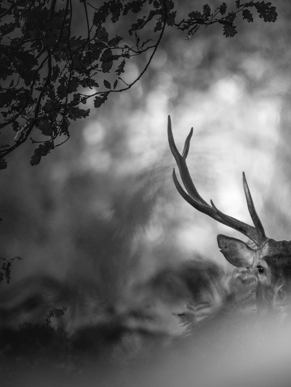 Black and white deer photography prints and posters for sale