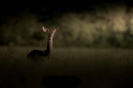 The giraffe deer