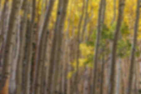 Giovane albero dell'Aspen sotto il baldacchino