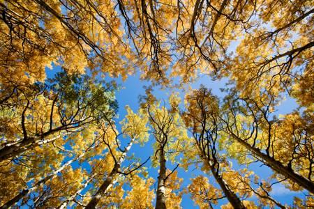 Blue sky golden leaves