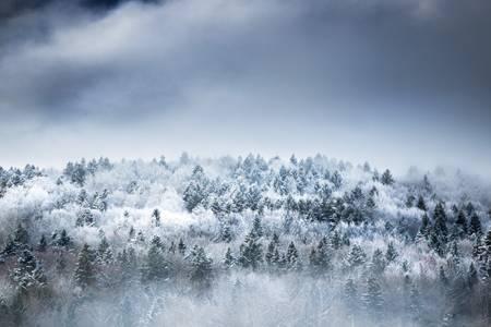 Foggy Christmas Trees