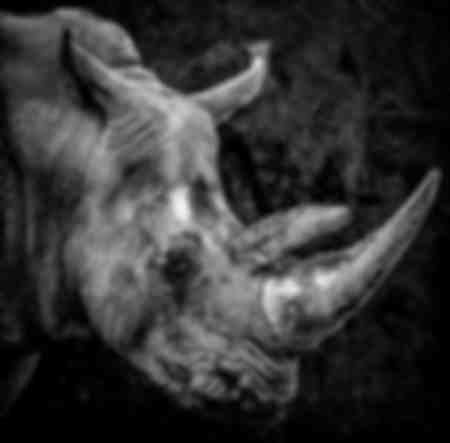 Portrait Rhinoceros