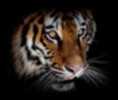 Tigerhuvud