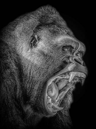 Gorille en colère
