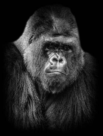 Gorilla Portret 3