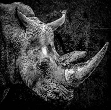 Portrait Rhinoceros