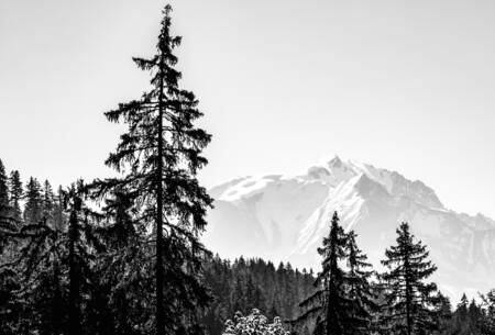Spruce and Mont Blanc