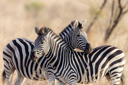 Abrazo de cebra en Sudáfrica