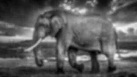 éléphant Amboselli