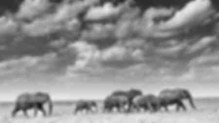 Amboselli-Elefanten