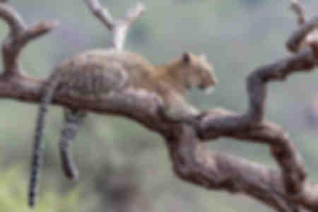leopard i akacia i färg