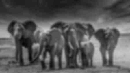 Kleine troep olifanten vooraan