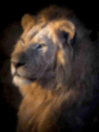 Masai Mara Lion ritratto