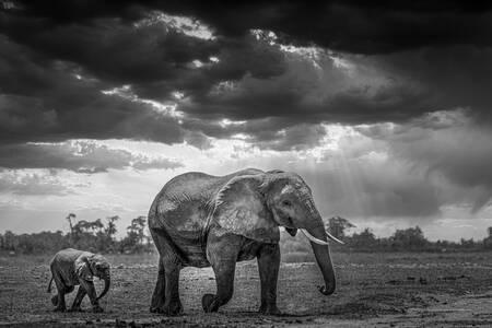 éléphant et son petit Amboselli