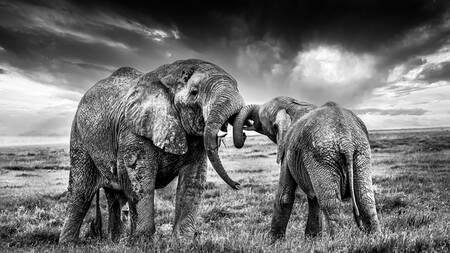 iniziazione di elefanti