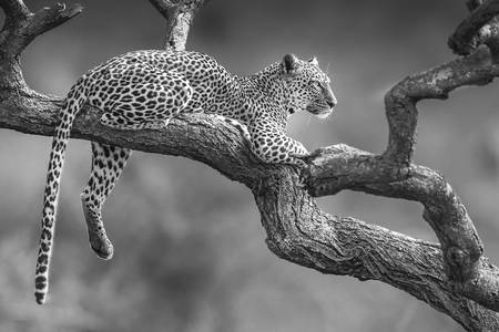leopardo in un'acacia