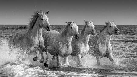 four camargue horses in the sea