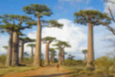 Allee des Baobas