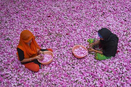 Cueillette et triage des roses