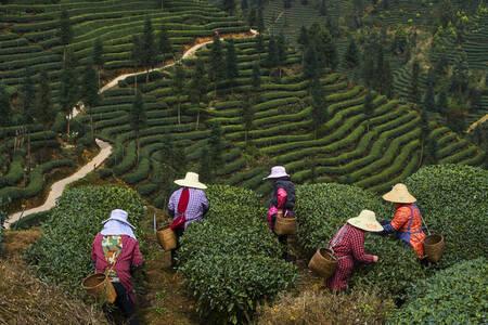 Jardins de thé
