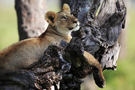 Le Lionceau