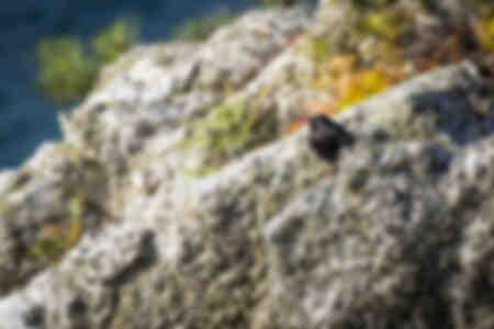 Red-billed chough on the cliffs of Guern