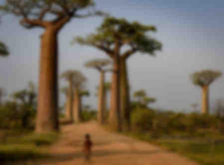 Baobaberna på Madagaskar 02